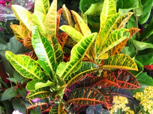 croton_plant_by_kitteh_pawz-d53x6am