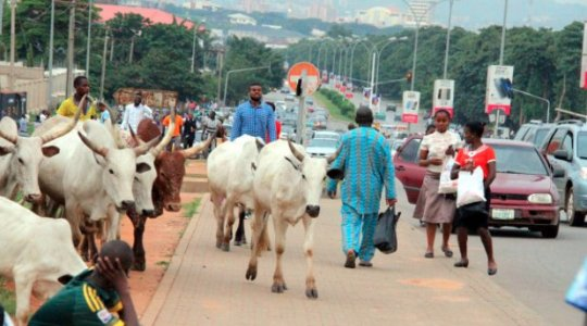 Image result for cattle grazing at abuja city